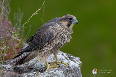Peregrine (Simon Stobart) Tags: peregrine falcon falco peregrinus perched north england uk