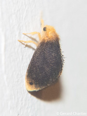 Micromorphe linta, male (GeeC) Tags: nygmiini tatai animalia insecta arthropoda nature noctuoidea lepidoptera lymantriinae kohkongprovince cambodia micromorphe micromorphelinta erebidae butterfliesmoths tussockmoths ឃុំឫស្សីជ្ kohkong