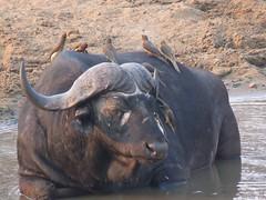 Cooling off...( Buffalo)  /  (Buffel) (Pixi2011) Tags: buffalo southafrica africa wildlifeafrica big5 wildlife nature wildanimals animals krugernationalpark