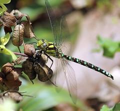 Fliegender Edelstein (♥ ♥ ♥ flickrsprotte♥ ♥ ♥) Tags: grün libelle natur botanischergarten kiel