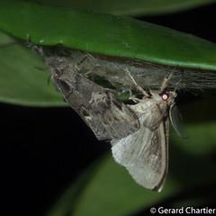 Olene mendosa (GeeC) Tags: tatai animalia arthropoda olenemendosa nature insecta olene lymantriinae kohkongprovince cambodia lepidoptera noctuoidea erebidae butterfliesmoths tussockmoths