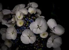 pale hortensia (marinachi) Tags: hortensia flowers closeup white lowkey cof072red cof072dmnq cof072holl cof072mari cof072john cof072cott