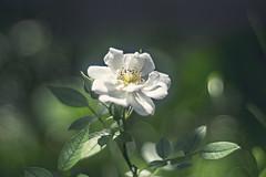 white rose II (ang-yan) Tags: jupiter 8m 50mm f20 kievcontax mount юпитер 8м ©angel yanev