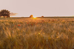 Evening Glow (microwyred) Tags: wheat landscape sunset nature crop ruralscene beautyinnature dusk agriculture summer barley harvesting growth cerealplant goldcolored landscapes farm outdoors yellow sky field