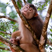 Southern Pig-tailed Macaque (Macaca nemestrina)