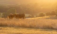 Lumière du soir sur la campagne Sarthoise (pixlilli) Tags: sunset naturephoto nature campagne paysages sonya sonyphoto bétail