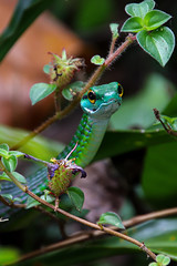 Parrot Snake (Jesse Piercy) Tags: wildlife nature rainforest animals parrotsnake snake green trees costarica osapeninsula corcovado reptiles