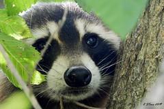 DSCN4914 raccoon (starc283) Tags: starc283 flickr flicker forest nature natures finest watcher animal wildlife raccoon predator naturesfinest naturewatcher