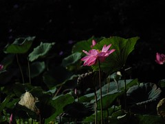 P1091646_LR (enno7898) Tags: panasonic lumix lumixg9 dcg9 xvario 35100mm f28 plants flower lutos
