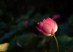 P1091522_LR (enno7898) Tags: panasonic lumix lumixg9 dcg9 xvario 35100mm f28 plants flower lutos