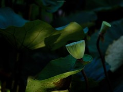 P1091501_LR (enno7898) Tags: panasonic lumix lumixg9 dcg9 xvario 35100mm f28 plants flower