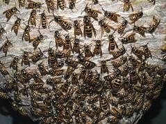 Dolichovespula norwegica - Nest (Vespidae_Alex) Tags: alex northey dolichovespula norwegica norwegian wasp hymenoptera wespe guepe frelon vespidae nest paper queens males workers