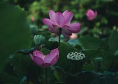 P1091487_LR (enno7898) Tags: panasonic lumix lumixg9 dcg9 xvario 35100mm f28 plants flower lutos
