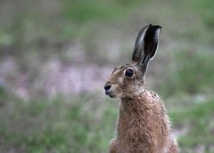 Brown-hare_4290 (Peter Warne-Epping Forest) Tags: lepuseuropaeus brownhare lagomorph hare essex peterwarne mammal uk bbcspringwatch