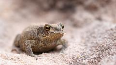 Common Toad - Bufo bufo (Ellie Hilsdon) Tags: uk macro nature photography wildlife wild summer sunshine sandy amphibian toad dorset arne bufo burrow rspb rspbarne