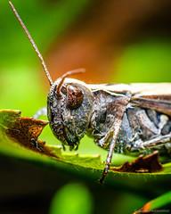 Grasshopper | Heinäsirkka | Acrididae (EM5B6404) (Teemu Paukamainen) Tags: olympusem5 heinäsirkka grasshopper olympus60mmf28 macro extrememacro raynox raynoxdcr250 raynoxdcr150 flash godoxtt685o insect bug closeup