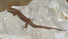 Wall lizard (john neal photography) Tags: walllizard lizard reptile macro portland dorset portlandquarries