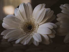 Gerbra (diannerobbins1) Tags: micro43 microfournerds microfourthirds lumixg9 panasonicg9 flower gerbera
