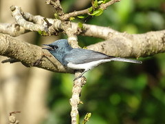 Daintree '19 (faun070) Tags: daintree daintreeriver myiagrarubecula leadenflycatcher bird wildlife australianwildlife
