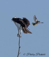 osprey getting attacked by a Bullock's oriole (Pattys-photos) Tags: osprey getting bullocks oriole idaho pattypickett4748gmailcom pattypickett