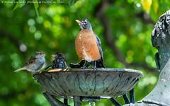 Robin (20190714-DSC04412) (Michael.Lee.Pics.NYC) Tags: newyork centralpark conservatorygarden americanrobin housesparrow bird birdbath burnettfountain bokeh sony a6500 fe100400mmgm
