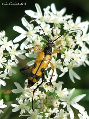 Longhorn beetle - aberration? (LPJC (away for August)) Tags: fermynwoods rutpelamaculata northamptonshire uk 2019 lpjc