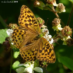 Silver-washed fritillary (LPJC (away for August)) Tags: silverwashedfritillary butterfly uk 2019 lpjc northamptonshire bedfordpurlieus