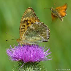 Silver-washed fritillary plus small skipper in flight (LPJC (away for August)) Tags: silverwashedfritillary butterfly uk 2019 lpjc northamptonshire fermynwoods