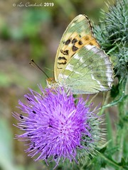 Silver-washed fritillary (LPJC (away for August)) Tags: silverwashedfritillary butterfly uk 2019 lpjc northamptonshire fermynwoods