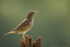 Song Thrush ( Turdus philomelus } (sdawesy1) Tags: