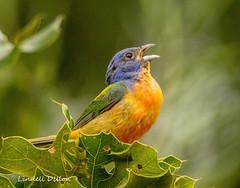 Singing bunting (Lindell Dillon) Tags: paintedbunting pabu neotropical birds birding nature oklahoma wildoklahoma