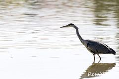 Héron cendré (Rowhider) Tags: canon 70d sigma 150600 contemporary domaine des oiseaux mazères bird wild héron cendré ardea cinerea grey heron