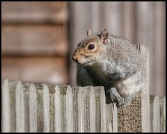 On the Fence (NickD71) Tags: fuji fujifilm xt1 csc mirrorless compact system camera snapseed xc50230 garden fence wooden squirrel sitting watching visitor alert dof