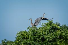 Great Blue Herons (jwfuqua-photography) Tags: herons greatblueheron jwfuquaphotography nature waterfowl peacevalleynaturecenter jerrywfuqua wadingbirds pennsylvania buckscountyparks buckscounty bird