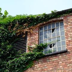 ivy taking over (bejem) Tags: ivy window broken brickwork louvres glass wellingborough