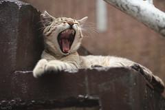 猫 (fumi*23) Tags: ilce7rm3 sony street 85mm fe85mmf18 sel85f18 a7r3 animal alley cat gato neko emount yawn ねこ 猫 ソニー 欠伸