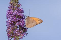 Papillon (clamar18) Tags: papillon marron fleur mauve buddleia insecte mérysurcher jardin butterffly