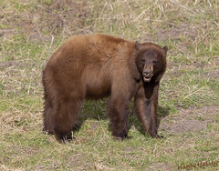 Cinnamon Black Bear (Hank Halsey) Tags: hhdx8355cr2 blackbear cinnamonblackbear yellowstonenationalpark hankhalseyphotography