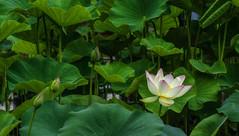 Lotus. Explored. (Tim Ravenscroft) Tags: lotus leaves flower mirumotoji kyoto japan asia hasselblad hasselbladx1d temple