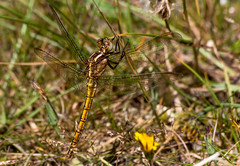 Keeled Skimmer - female (Chalto!) Tags: newforest parkhillinclosure insect hampshire keeledskimmer skimmer dragonfly