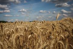 Champ de blé (vostok 91) Tags: vostok91 canon eos40d efs24mmf28stm nature champ blé nuages ciel