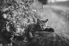 猫 (fumi*23) Tags: ilce7rm3 sony sel85f18 emount 85mm fe85mmf18 a7r3 animal cat feline gato monochrome blackandwhite bw ねこ 猫 ソニー モノクロ