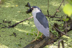 Fish for breakfast (DFChurch) Tags: sixmilecypressslough black crowned night heron fish wild animal bird swamp fortmyers florida nycticoraxnycticorax