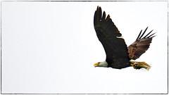 Bald Eagle (RKop) Tags: baldeagle raphaelkopanphotography d500 grandvalleypreserve ohio 200500mmf56edvrzoom