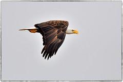Bald Eagle (RKop) Tags: baldeagle raphaelkopanphotography d500 alafiabnaks florida 600mmf4evr 14xtciii
