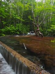 abundant in water (murozo) Tags: shishigabana marshland nikaho akita japan green water beech tree forest summer 獅子ヶ鼻湿原 にかほ 秋田 日本 緑 水 ブナ 森 夏 木