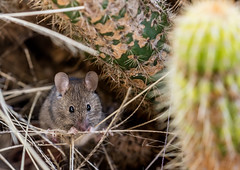 Mouse Explore #21 17jul19 (Peta Jade) Tags: mouse outdoors photography rodent wildlife bathurst