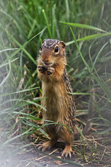 Thirteen-lined ground squirrel (U.S. Fish and Wildlife Service - Midwest Region) Tags: squirrel gopher animal wildlife nature minnesota mn summer july 2019 eating feeding