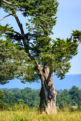 old (long.fanger) Tags: blueridgemountains bullrunbattlefield tree