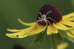Wolf Spider eating hoverfly while hoverfly's eyes look on from the petal below (Colleen Prieto) Tags: nature spider